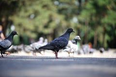 Pigeons gris Photographie stock libre de droits