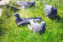 Pigeons gris sur l'herbe verte Image stock