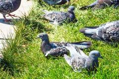 Pigeons gris sur l'herbe verte Photo stock