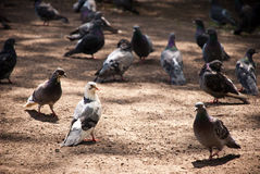Pigeons on the ground. Pigeons walking on the ground Stock Images