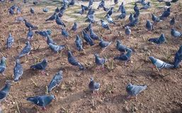 Pigeons on the ground. A lot of pigeons on the ground Stock Images