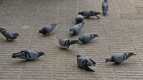 Pigeons on the ground. Many pigeons eating food on floor in park Royalty Free Stock Image