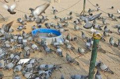 Pigeons group in Kathmandu,Nepal Stock Photo