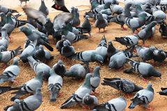 Pigeons Royalty Free Stock Image