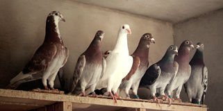 Pigeons birds. Group of pigeons taking a rest to continue flying Stock Photography