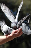 Pigeons on hand Royalty Free Stock Photos