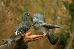 Pigeons feeding on the hand Royalty Free Stock Images