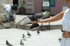Pigeons in hand Royalty Free Stock Image