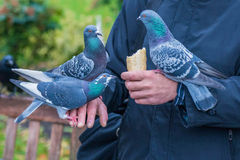 Pigeons on the hands. Pigeons are eating piece of bread on the hands Stock Images