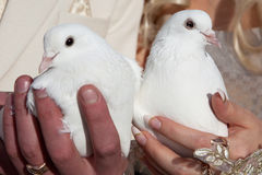 pigeons in hands of the groom and the bride Royalty Free Stock Image