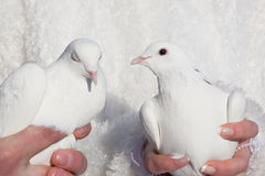 pigeons in hands of the groom and the bride Stock Photo