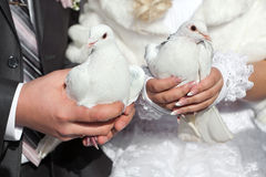 Pigeons in hands of the groom and the bride Stock Image