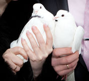 Wedding pigeons in hands of the groom and the bride Stock Image