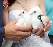 Pigeons in hands of the groom and the bride Royalty Free Stock Photography