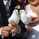 Pigeons in hands of the groom and the bride Royalty Free Stock Photo
