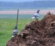 Pigeons hanging out in barnyard stock photos