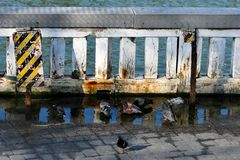 Pigeons bathing in dirty water stock photo