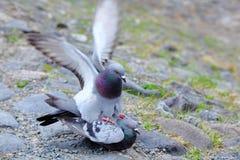 Pigeons having sex. Close up Stock Photography