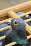 Pigeons head features in a cage Royalty Free Stock Photography