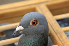 Pigeons head features in a cage Royalty Free Stock Image