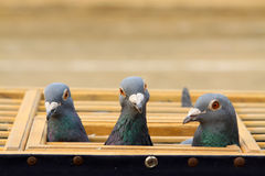 Pigeons head features in a cage Royalty Free Stock Images