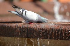 Pigeons on a hot day look for every opportunity to quench their thirst with water even from the city fountain. Water in fountains is for people to beautify city royalty free stock image