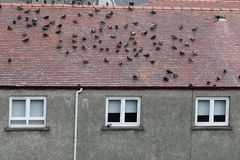 Pigeons on house roof birds causing noise nuisance to home owners and neighbours. Uk royalty free stock photos