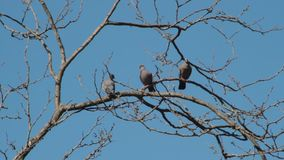 Pigeons hovering over the branches in courtship to mate stock footage