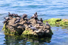 Pigeons' island. Pigeons on the island in the Black Sea Royalty Free Stock Photos