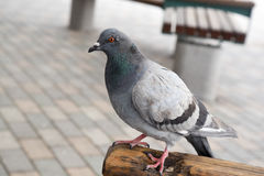 Pigeons in Japan. I took photos of pigeons in Japan Royalty Free Stock Photos