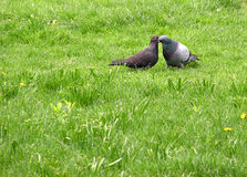 Pigeons kissing. On the grass stock photos