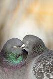 Pigeons kissing. Royalty Free Stock Photography