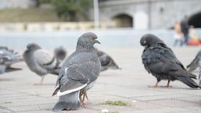 Pigeons ? la place de ville clips vidéos