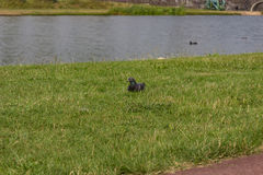 Pigeons at a lake Royalty Free Stock Photos