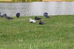 Pigeons at a lake Stock Photo