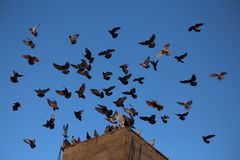 Pigeons landing. A group of pigeons trying to land on the roof of the house royalty free stock image