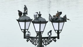 Pigeons on the Lanterns. On a background of the Sea stock footage