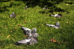 Pigeons. Laying in a grass in a circle Royalty Free Stock Photos