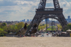 Pigeons on the ledge in front of Eiffel Tower. Two pigeons on the ledge in front of Eiffel Tower Royalty Free Stock Photo