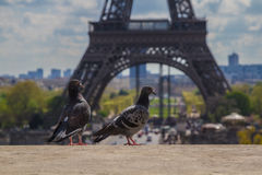 Pigeons on the ledge in front of Eiffel Tower. Two pigeons on the ledge in front of Eiffel Tower Royalty Free Stock Images