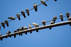 Pigeons on a light pole Royalty Free Stock Image