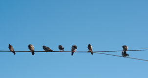 Pigeons in Line Stock Photo