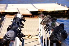 Pigeons lined up on the railing on the sea. Floating raft for the ferry . Gray tones of blue contrast Stock Photo