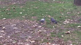 Pigeons looking for food. 4k video. This is footage of Pigeons looking for food. 4k video stock video