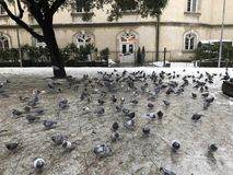 Pigeons looking for food in the snow stock images