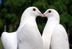 Pigeons in love. With hearts Royalty Free Stock Images
