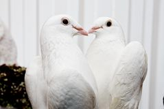 Pigeons in love. Make a kiss Stock Photo