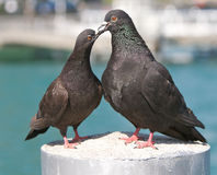 Pigeons in love Royalty Free Stock Photography
