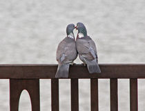 Pigeons in love Royalty Free Stock Image