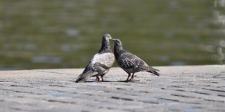 Pigeons love Stock Photos